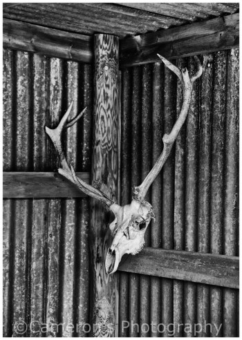 2608 Antlers and Skull In Hill Shed